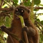 Lemurul auriu de bambus (Hapalemur aureus)
