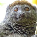 Lemurul gri de bambus (eastern bamboo lemur - Hapalemur griseus)