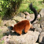 Lemurul sângeriu (Varecia rubra)