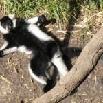 Lemurul cu guler și pliuri alb-negru (Varecia variegata)