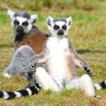 Lemurul cu coadă inelară (Lemur catta)