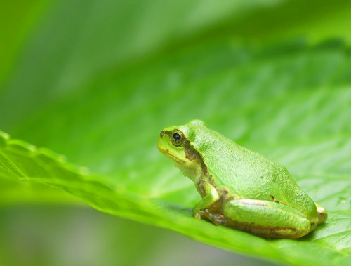 japanese_tree_frog
