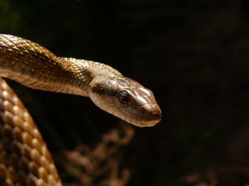 japanese_rat_snake