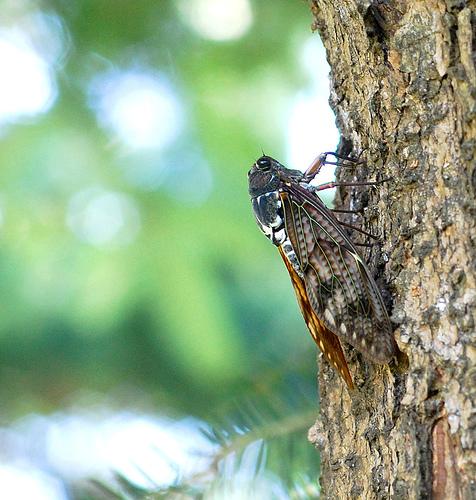 large_brown_cicada