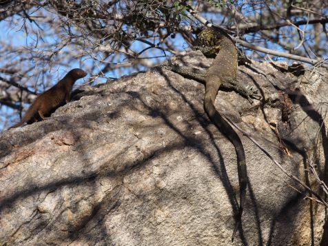 Mongoose checks out monitor lizard