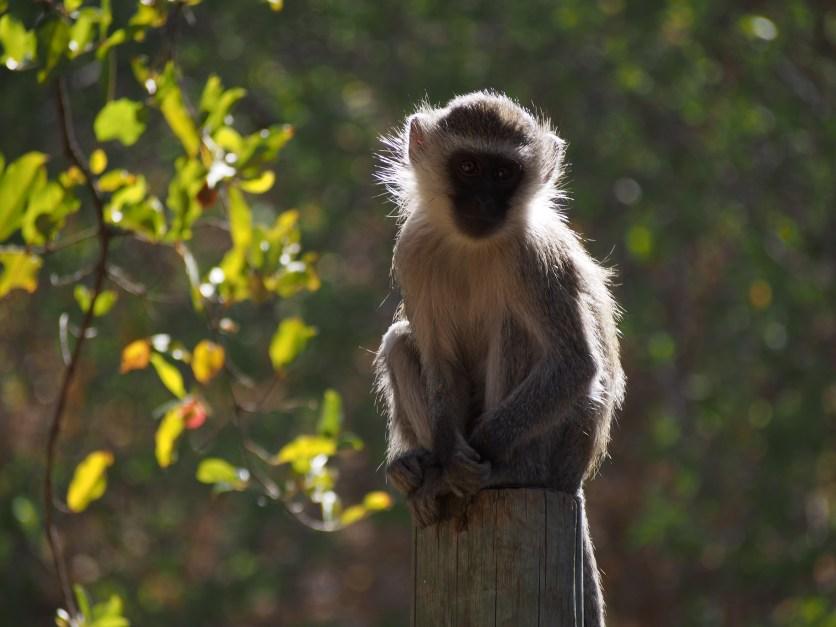 Vervet monkeys are pests