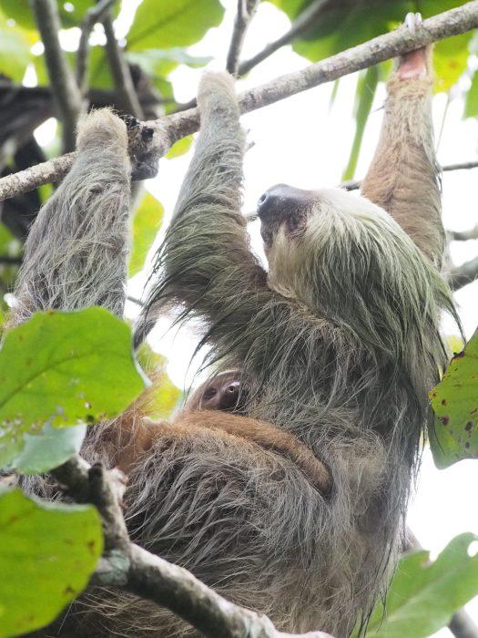 Gratuitous picture of sloths