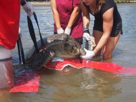 93kg black turtle!