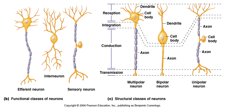 Image result for neuron types