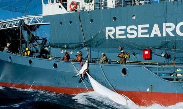 Strage di balenottere minori: giapponesi ne massacrano 333, di cui 122 femmine incinte