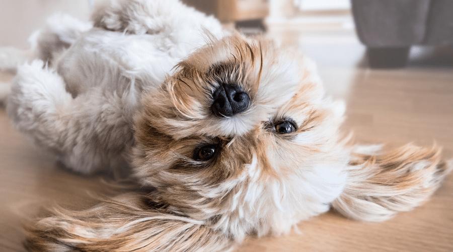 quarantena cane