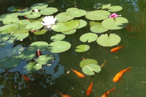 ses poissons de bassin en hiver