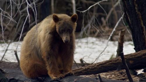 4k bear