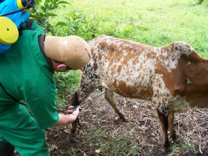 Busia-spraying cattle