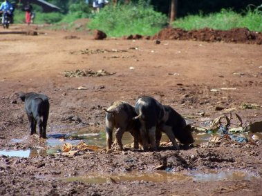 Busia-Pigs routing (1)
