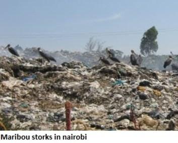maribou storks in nairobi