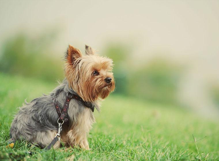 Yorkshire Terrier Rasseportrait Im Hunde Magazin