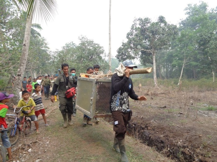 rescate-orangutanes-victimas-de-incendio-forestal-indonesia