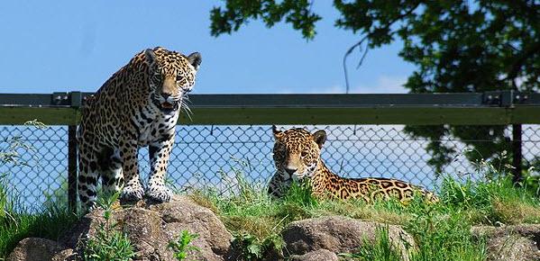 Grandes felinos são uma das principais atrações do Chester Zoo |Foto: Wikimedia