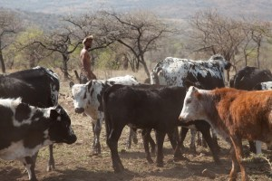 nguni cattle, nguni, cowhide, Zulus, Zulu herdsman, sustainably sourced, ethical, cowhides, South frica