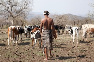 Nguni, cowhide, sustainable, ethical, cowhide, south africa