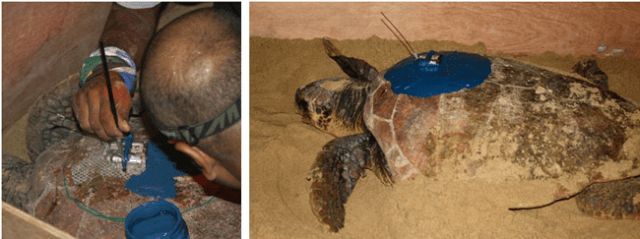 leatherback turtles breeding season