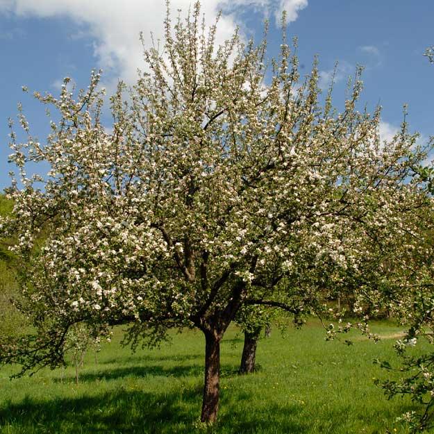 Apfelbaum in voller Blüte - Essigmanufaktur zur Freiheit