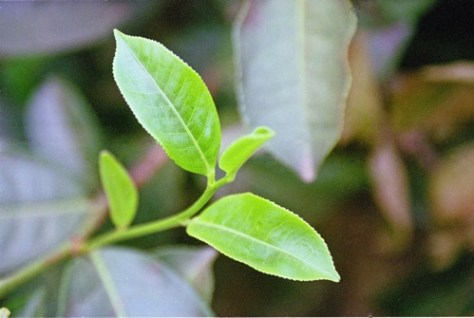 Tea Leaf, Sri Lanka