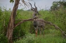 Antylopa Kudu Safari w Kenii