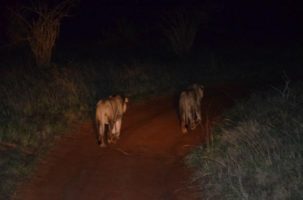 Lwy podczas nocnego safari w Kenii