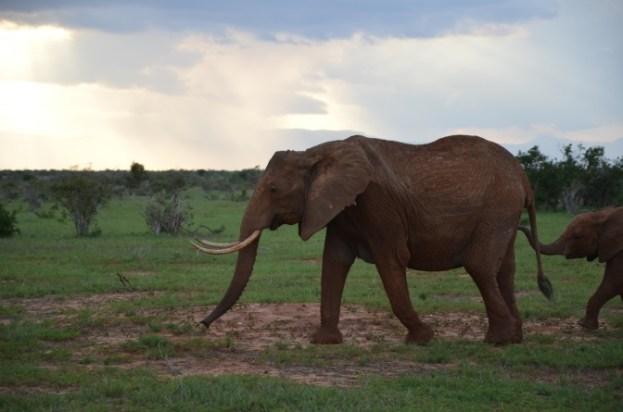 Słoń Kenia