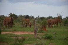 Słonie Kenia