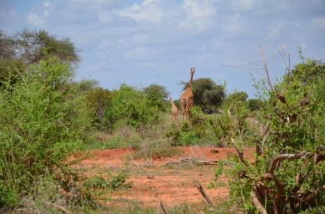 Żyrafy Kenia