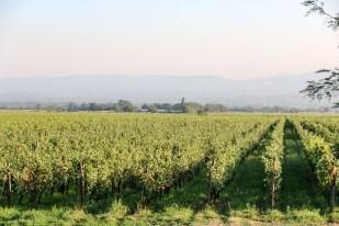 Plantacje winogron w Gruzji