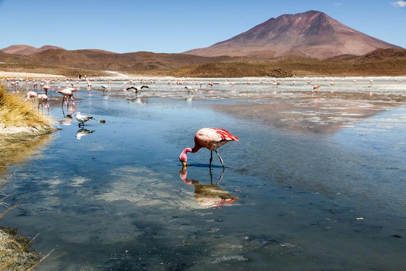 Flaming wycieczka Salar de Uyuni Boliwia