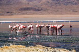 Flamingi 2 wycieczka Salar de Uyuni Boliwia