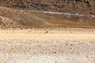 Wikunie Salar de Uyuni Boliwia