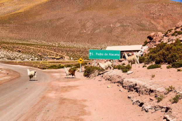 Znak uwaga lamy San Pedro de Atacama Boliwia