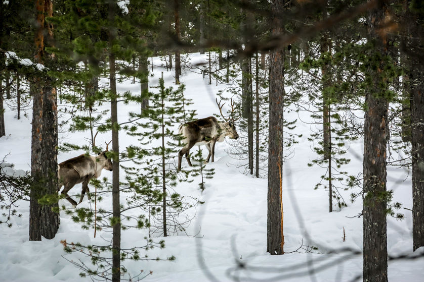 Renifery w lesie Finlandia
