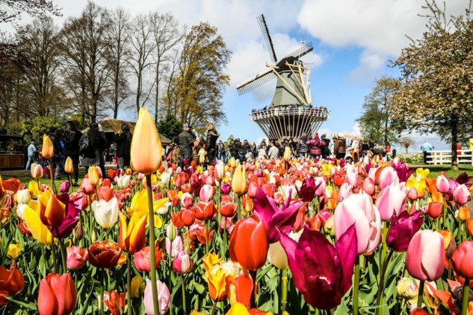 Keukenhof tulipany i wiatrak