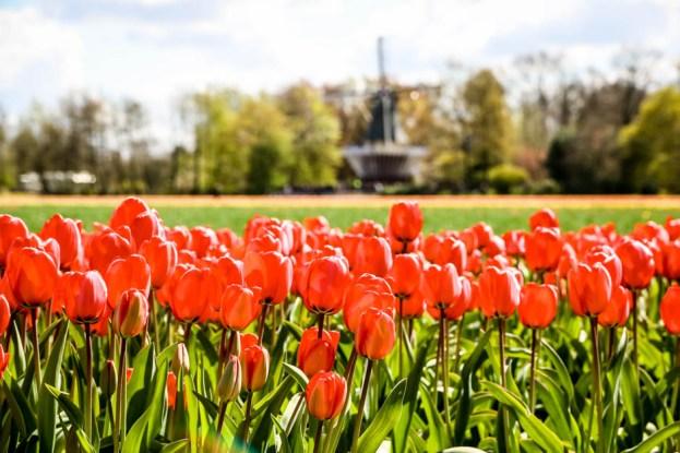 Pola tulipanów Holandia