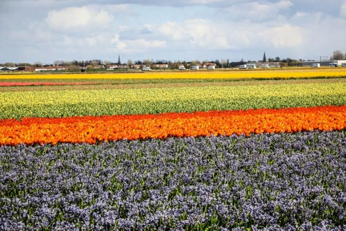 Tulipany Amsterdam