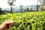 Na plantacji herbaty Sri Lanka