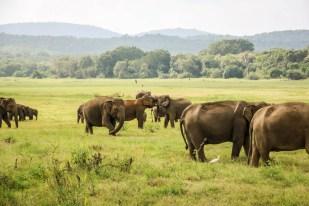 Park Narodowy Kaudulla słonie 2