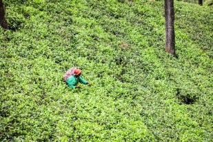 Trasa kolejowa Sri Lanka plantacje herbaty 2