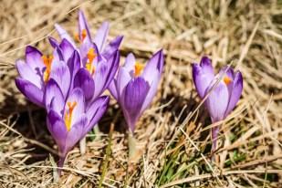 Tatry wiosną krokusy Kalaktówki