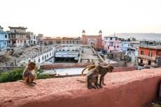 Indie Jaipur Świątynia Małp