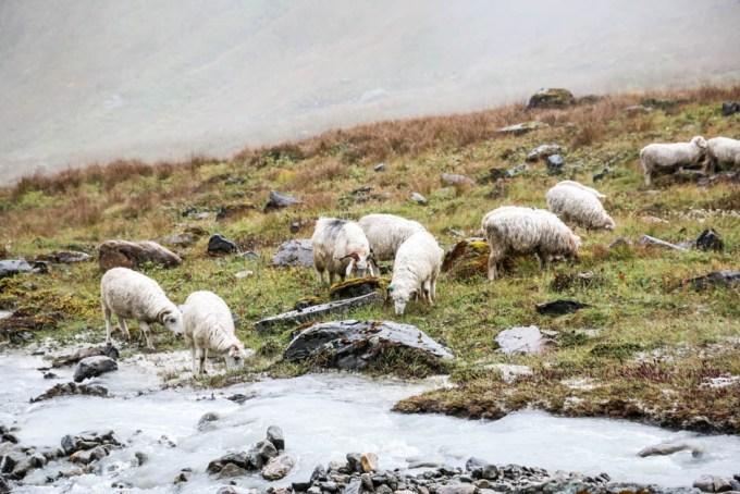 Nepal trekking do ABC owieczki