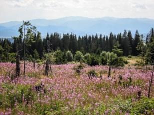 Kwiaty Tatry