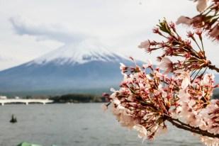 Fuji wiśnie